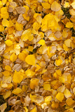 Usa  Colorado  Close-Up of Yellow Leaves