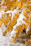Usa  Colorado  Twigs with Yellow Leaves Covered by Snow