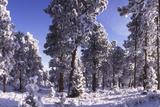 Ponderosa Pines in Winter  Colorado