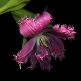Pink Frazzled Tulip