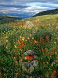 Field of Indian Paintbrush Flowers (Castilleja Sp.), Summer Papier Photo par Willard Clay