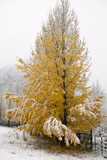 Usa  Colorado  Yellow Tree Covered by Snow