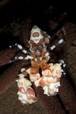 Harlequin Shrimp Sitting Atop a Starfish  Bali