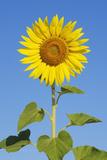 Sunflower (Helianthus Annuus) against Blue Sky
