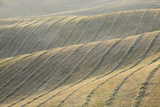 Rows of Harvested Wheat Field  Val D'orcia  Siena Province  Tuscany  Italy