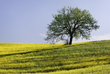 A Single Tree Sits on a Flower Covered Hillside