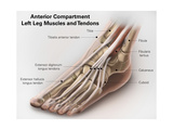 Anterior Compartment Anatomy of Left Leg Muscles and Tendons