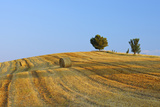 Harvested Wheat Field with Pine Tree  Summer