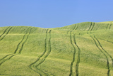 Tire Tracks in Wheat Field  Val D'orcia  Siena Province  Tuscany  Italy