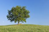 Holm Oak (Quercus Ilex in Clover Field
