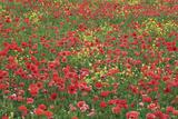 Corn Poppies Field  Pienza  Val D'orcia  Siena Province  Tuscany  Italy