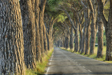 Avenue Lined with Pine Trees