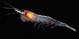 Antarctic Krill (Euphausia Superba)  Southern Ocean  Antarctica