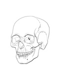 Line Illustration of a Human Skull