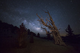 A Large Bristlecone Pine in the Patriarch Grove Bears Witness to the Rising Milky Way