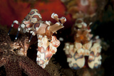 A Pair of Harlequin Shrimp with One Feeding Off a Starfish  Bali