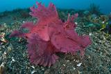 A Bright Pink-Purple Paddle-Flap Scorpionfish on Volcanic Sand  Bali