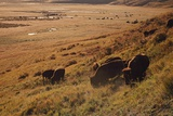 Sunrise on Bison (Bison Bison) Grazing on Hillside