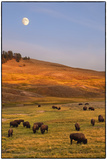 Bison Grazing on Hill at Hayden Valley
