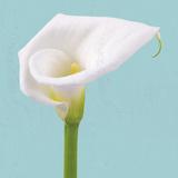 Fresh Lily II