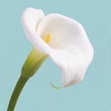 Fresh Lily III