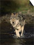 Limber Wolf Running Through River  Canis Lupus