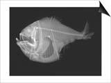 Tropical Hatchetfish