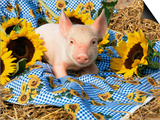 Domestic Piglet and Sunflowers  USA