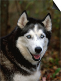Siberian Husky Dog  USA
