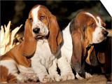 Two Bassett Hound Pups