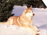 Siberian Husky Resting in Snow  USA