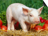 Domsetic Piglet with Vegetables  USA