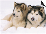 Two Alaskan Malamute Dogs  USA