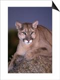 Mountain Lion on Rock at Dusk  Felis Concolor