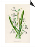 Snowdrop Depicted with Leucajum Aestivum: Snowflake