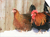 Red Dorking Domestic Chicken Cock and Hen  in Snow  Iowa  USA