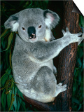Koala  in Tree  Queensland  Australia