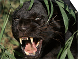 Melanistic (Black Form) Leopard Snarling  Often Called Black Panther