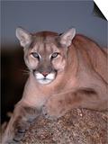 Mountain Lion on Rock  Felis Concolor