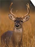 Whitetail Buck in High Grass