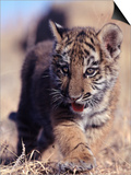 Siberian Tiger Cub  Panthera Tigris Altaica