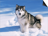 Alaskan Malamute Dog  in Snow  USA
