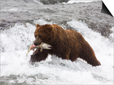 Grizzly Bear (Aka Alaska Brown Bear) with Salmon