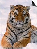 Siberian Tiger in Snow  Panthera Tigris Altaica