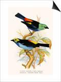 Superb Tanager  Paradise Tanager