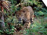 Jaguar Walking Through the Forest  Belize