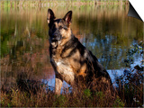 German Shepherd Dog by Pond  Connecticut