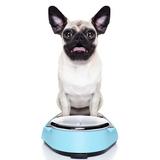 Overweight Pug Dog