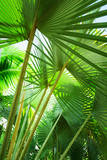 Jamaica  Palm Leaves