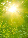 Sunburst through Spring Branches and Green Leaves